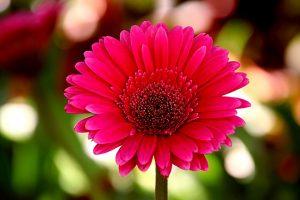 ดอกเยอบีร่าสื่อถึงความรักที่มั่นคงที่มีต่อผู้ล่วงลับ