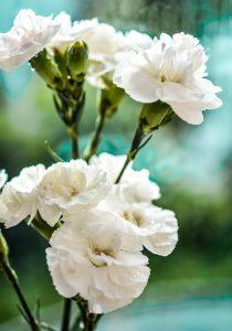 ดอกคาร์เนชั่นสีขาว ดอกไม้จัดงานศพยอดนิยม