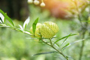 ดอกสวอนแพลนท์ ดอกไม้ที่นิยมนำมาตกแต่งพวงหรีด