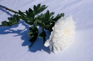 ดอกเบญจมาศที่นิยมใช่้ในงานศพ