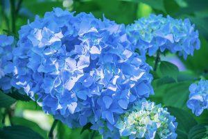 ดอกไฮเดรนเยีย สื่อถึงการขอบคุณความรักและมิตรภาพ